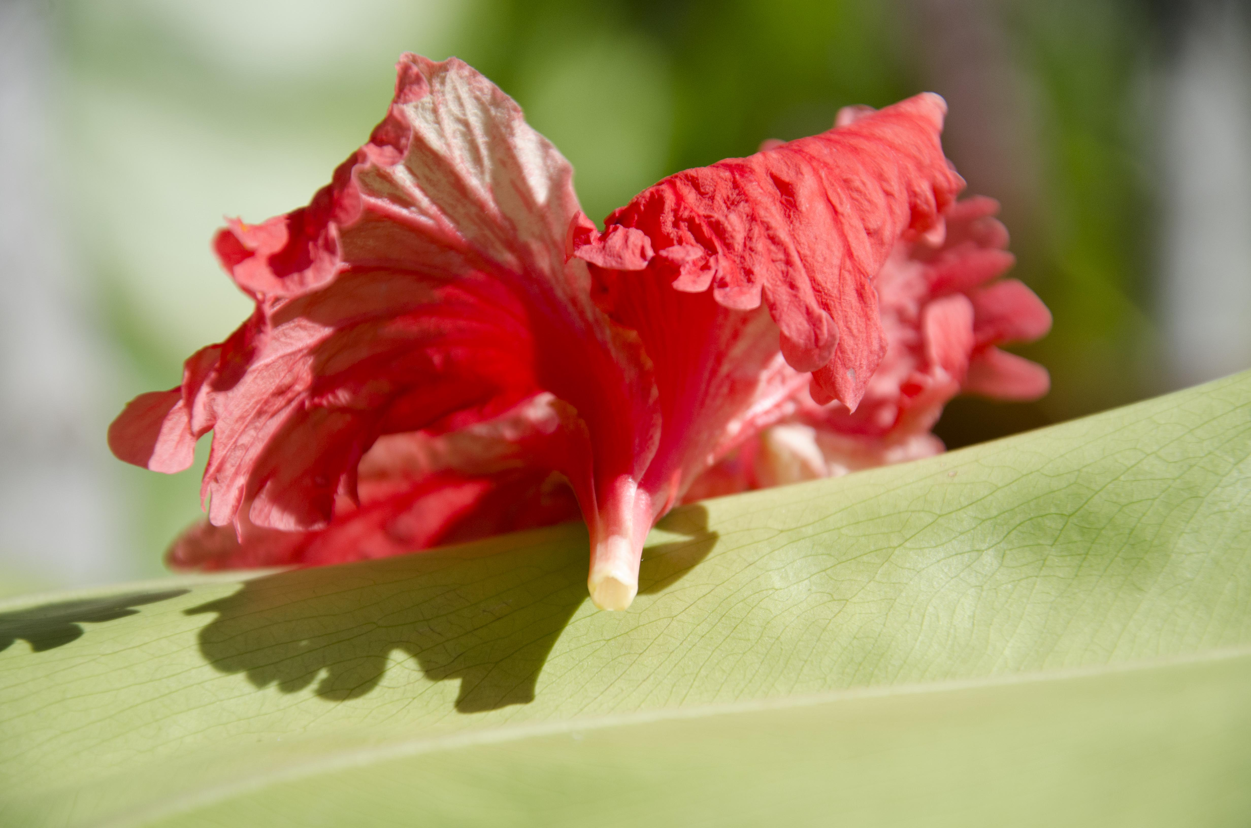Hollow base of hibiscus